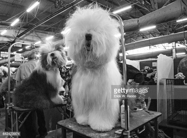 141st Westminster Dog Show View of Bichon Frise backstage before Day 1 of Best of Breed Judging event at Pier 94 New York NY CREDIT Erick W Rasco