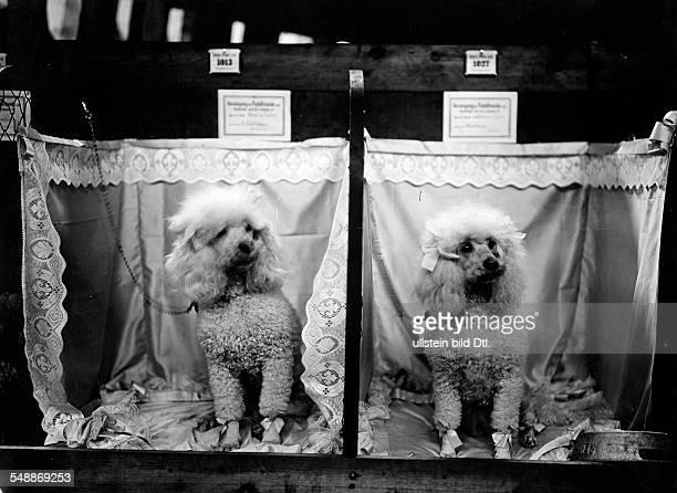 Dog show Dressed poodles sitting in their adorned dog crates Photographer Berliner Illustrations Gesellschaft undated Vintage property of ullstein...