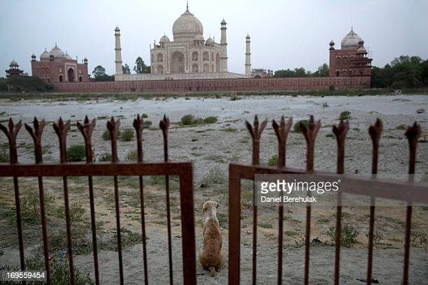 A dog sits beyond a gate prohibiting access to the Yamuna river in front of the Taj Mahal on May 27 2013 in Agra India Completed in 1643 the...