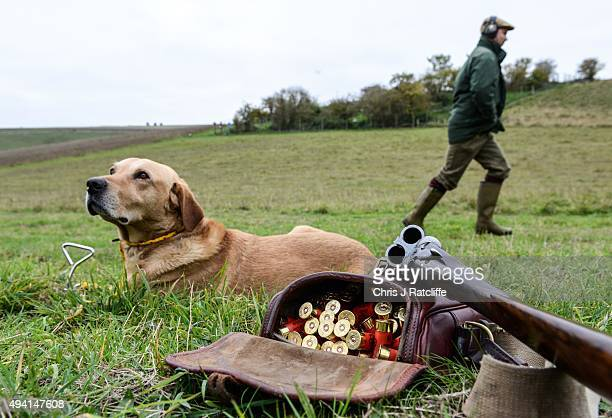 A dog sits by his owner's gun and cartridges at a pheasant and partridge shoot on October 23 2015 in Oxfordshire EnglandThe UK pheasant shooting...