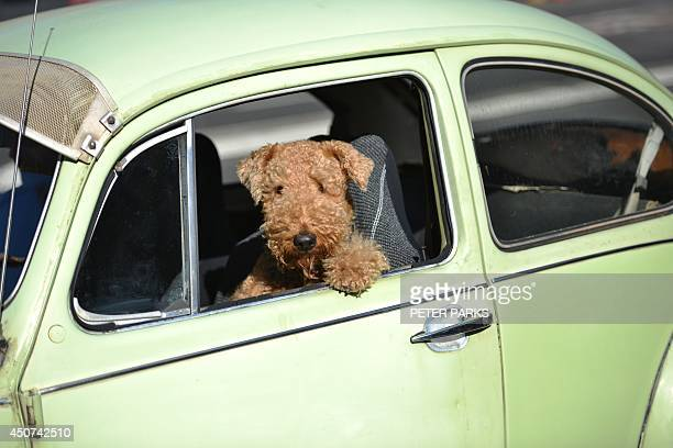 A dog sits in a Volkswagen Beetle as it drives on a road in Sydney on June 17 2014 A record of over five billion USD will be spent this financial...