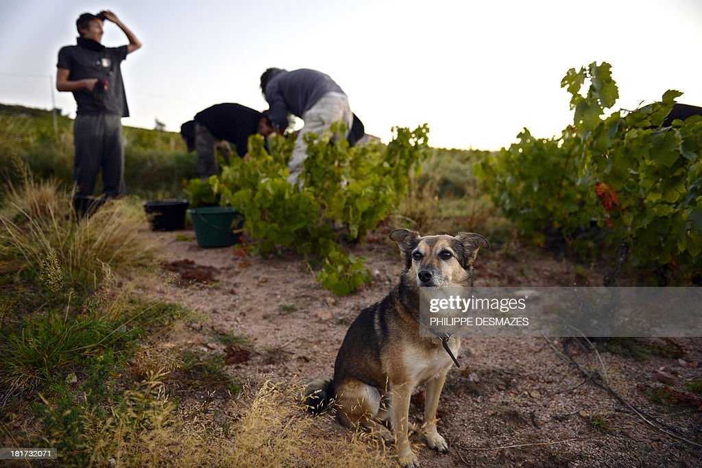 A dog sits next to pickers cutting grapes at dawn on the first day of the Beaujolais' harvest on September 24, 2013 in the 'Moulin a Vent' vineyard, near Chenas, Beaujolais, eastern France. Harvest in Beaujolais region will run until October 20.