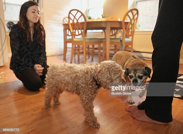 Dog sitter Rachel Askew looked on as 'Chotu' her roommate's dog met Fenway in their North End apartment Friday September 12 2014