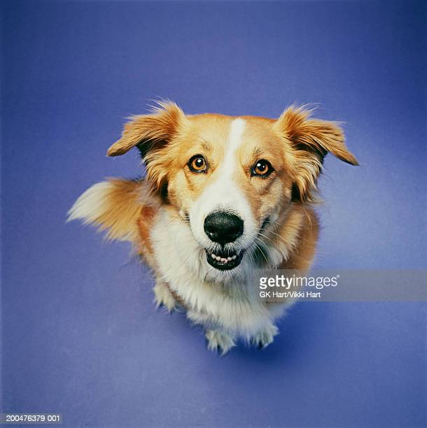 Dog sitting against blue background, elevated view