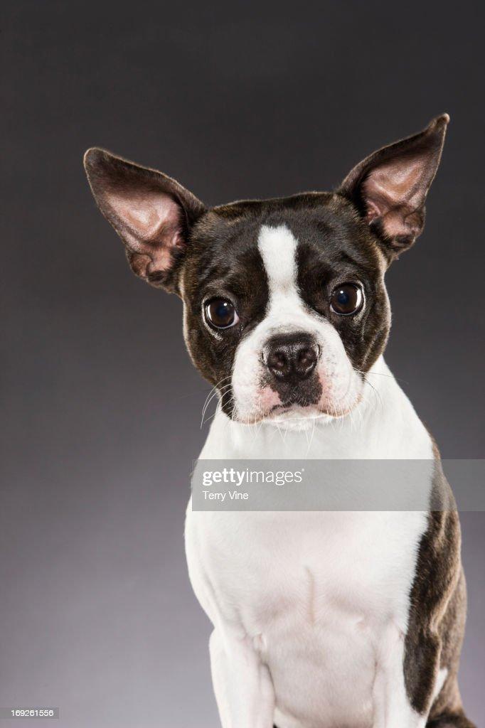 Dog sitting attentively : Stock Photo