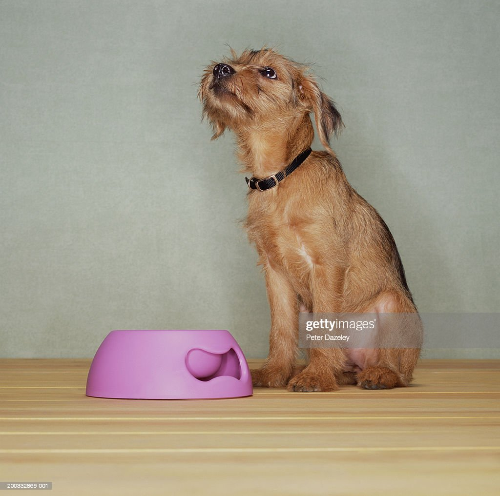 Dog sitting by bowl, looking up : Stock Photo