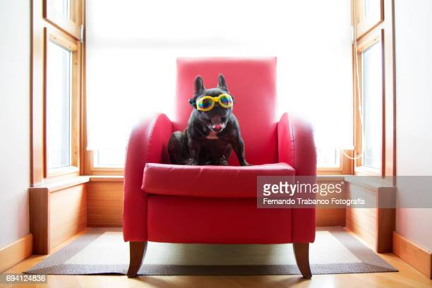 Dog sitting in a red armchair with yellow sunglasses and yawning