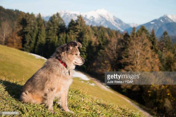 Dog sitting in the alps