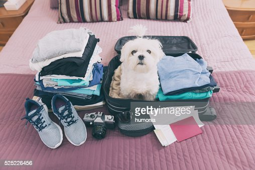 Dog sitting in the suitcase : Stock Photo