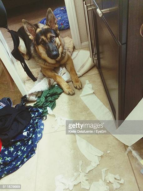 Dog sitting near clothes and torn toilet paper
