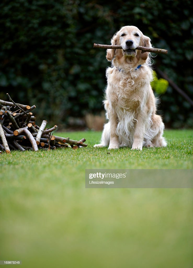 Dog sitting on grass holding stick in mouth (selective focus) : Stock Photo
