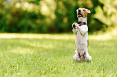 Jack Russell Terrier sitting at green grass lawn on rear paws