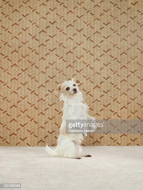 Dog (Canis lupus familiaris) sitting on hind legs.