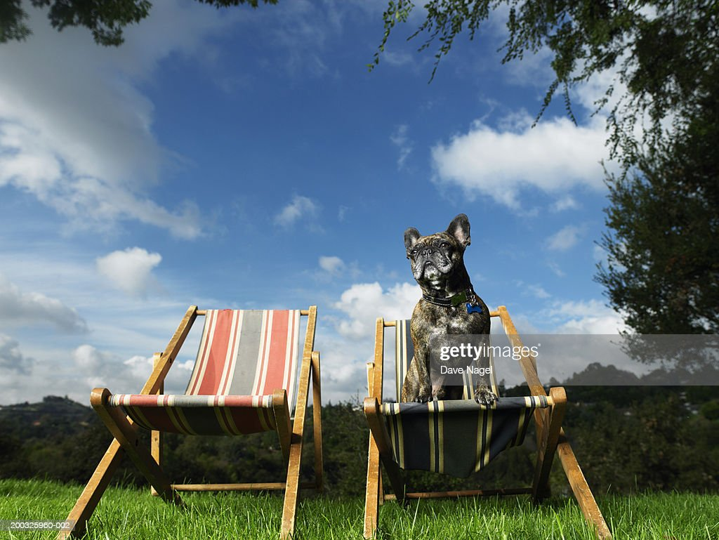 Dog sitting on lawn chair in backyard : Stock Photo