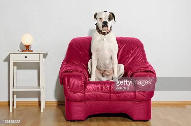 Cane seduto sulla sedia di pelle