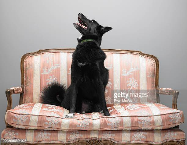 Dog sitting on love seat, looking up