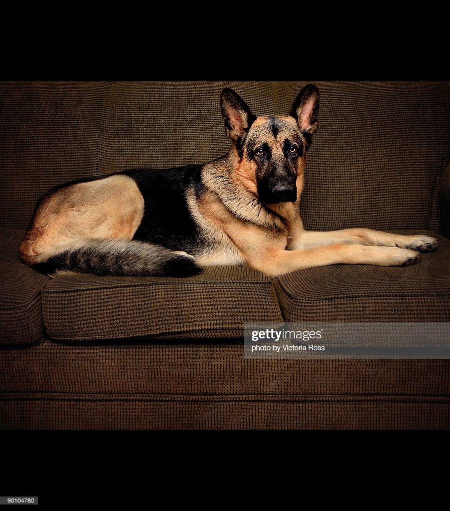 Dog sitting on sofa : Stock Photo