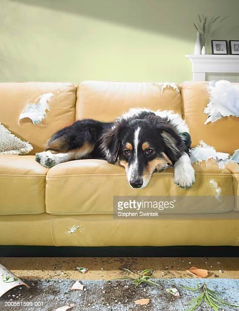 Dog sitting on torn sofa