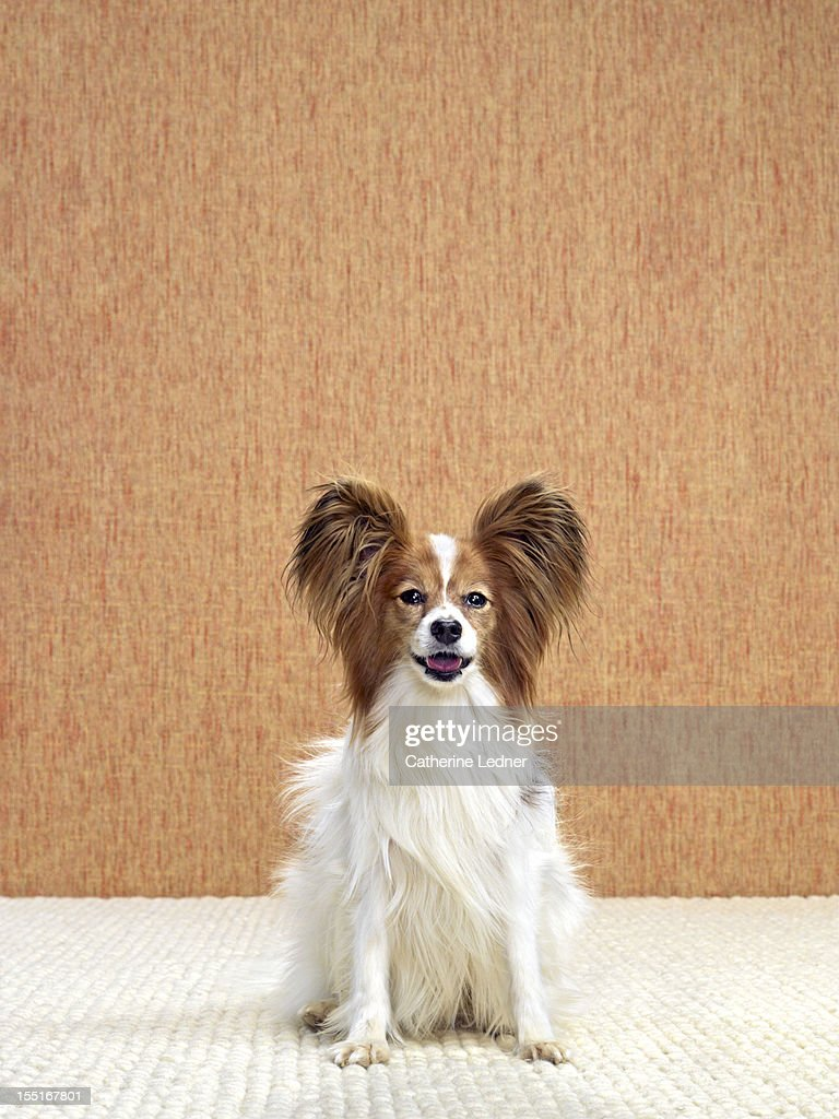 Dog (Canis lupis familiaris) sitting. : Stock Photo