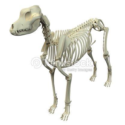 Dog Skeleton Anatomy Anatomy Of A Male Dog Skeleton Stock Photo