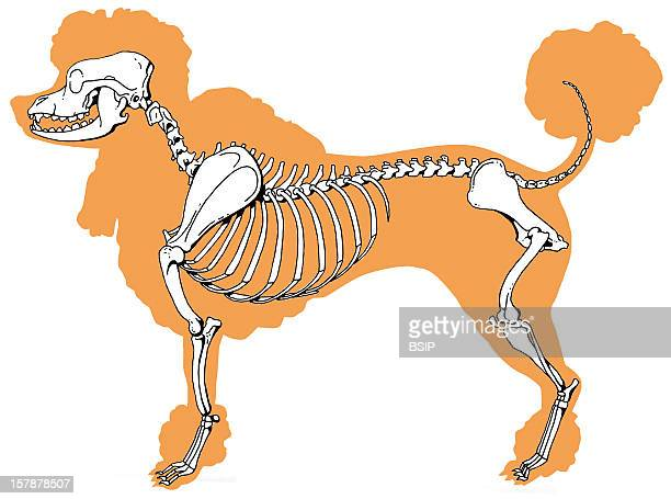 Dog Skeleton Lateral View Of A Mouse SkeletonRepresentation Inspired From A Medium Orange Fawn Poodle