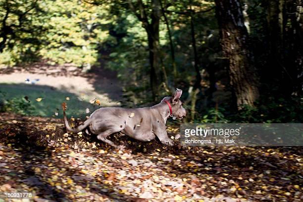 Dog skidding on fallen leaves