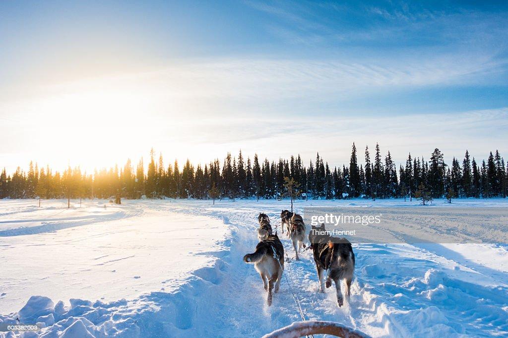 Dog sledding in the morning, Lapland, Finland