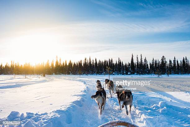 Dog sledding in the morning, Lapland, Finland