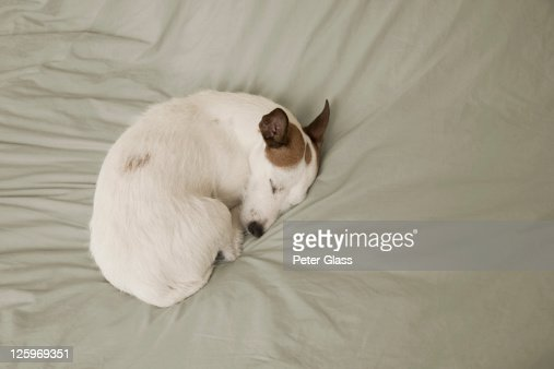 Dog sleeping on a bed : Stock Photo