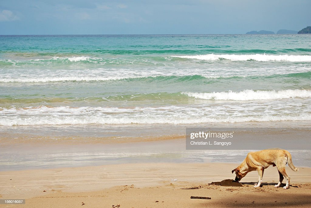 Dog Smelling Carabao Dung on a Beach : Stock Photo