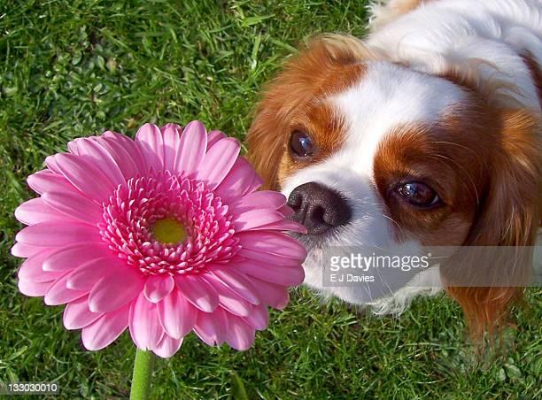 Dog smelling Gerbera flower