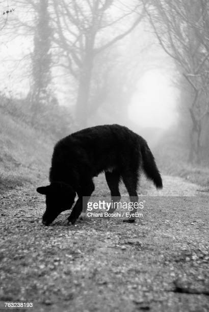 Dog Smelling Ground In Foggy Weather