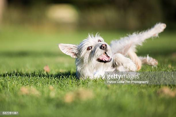 Dog Smiling while Rolling in Grass Outdoors