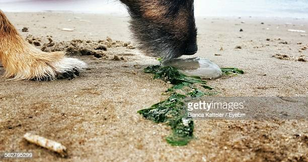Dog Sniffing Dead Jellyfish At Beach