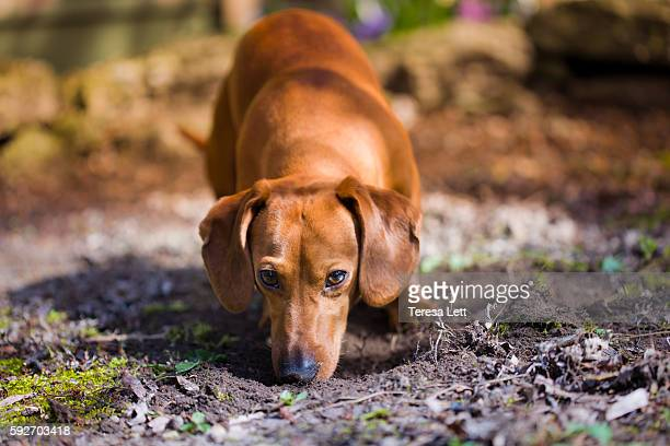 Dog sniffing dirt
