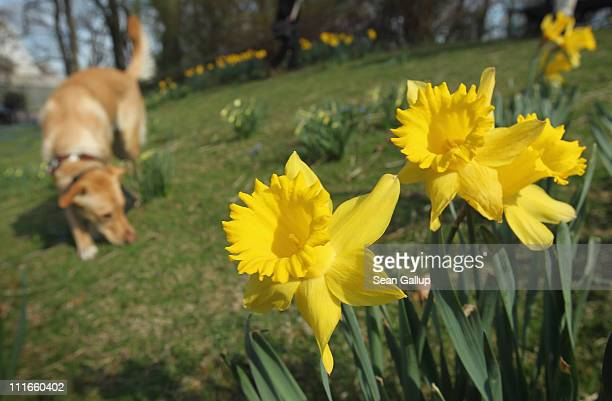 A dog sniffs near blossoming spring flowers in Tiergarten park on April 5 2011 in Berlin Germany Spring weather has reached the German capital and...