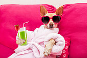 chihuahua dog relaxing  and lying, in   spa wellness center ,wearing a  bathrobe and funny sunglasses drinking a smoothie cocktail