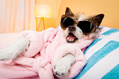 cool funny  poodle dog resting and relaxing in   spa wellness salon center ,wearing a  pink  bathrobe and fancy sunglasses