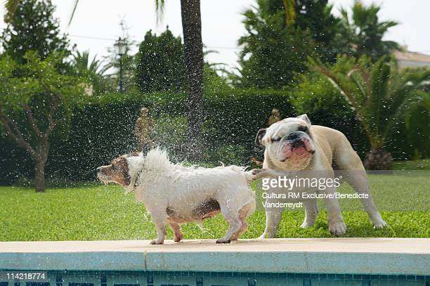 Dog splashing a bulldog by the pool