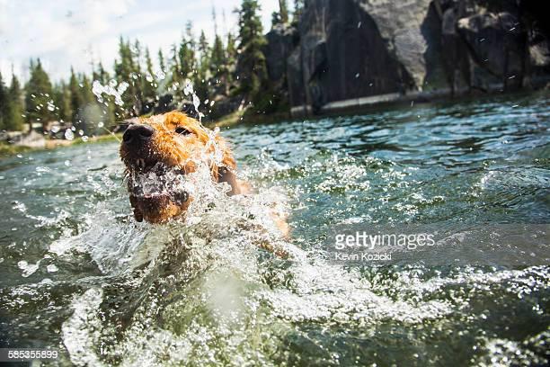 Dog splashing in water, High Sierra National Park, California, USA