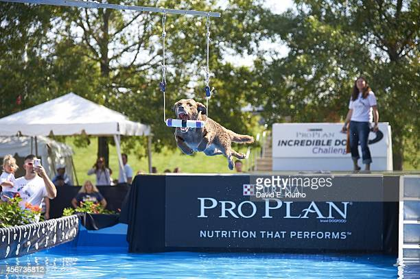 Purina Incredible Dog Challenge View of Cowboy a Chesapeake Bay Retriever in action during Fetch It event at Purina Farms Gray Summit MO CREDIT David...