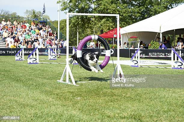 Purina Incredible Dog Challenge View of Paddy in action during Large Dog Agility event at Purina Farms Gray Summit MO CREDIT David E Klutho