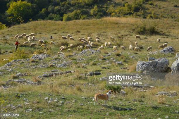 Dog Standing Against Sheep Grazing On Field