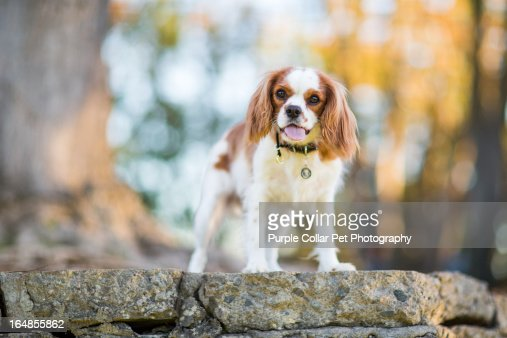 Dog Standing Atop Wall