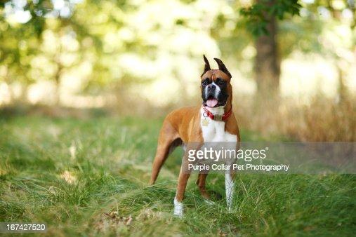 Dog Standing in Tall Grass : Foto de stock