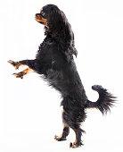 dog standing on 2 legs