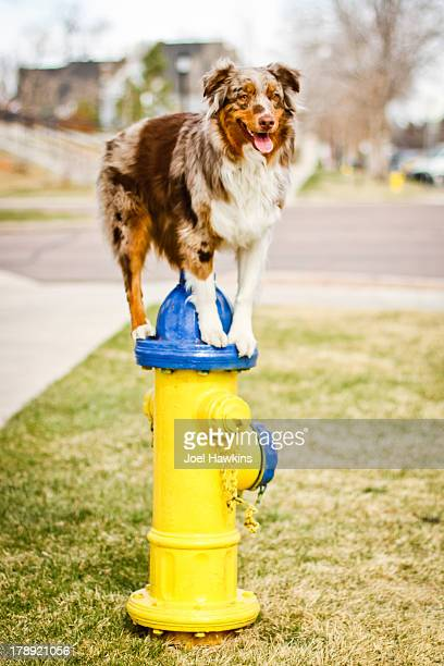 Dog standing on fire hydrant