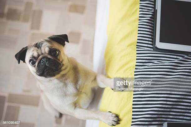 Dog standing on hind legs against bed