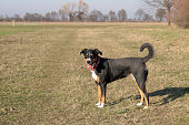 Appenzell cattle dog standing on the green grass