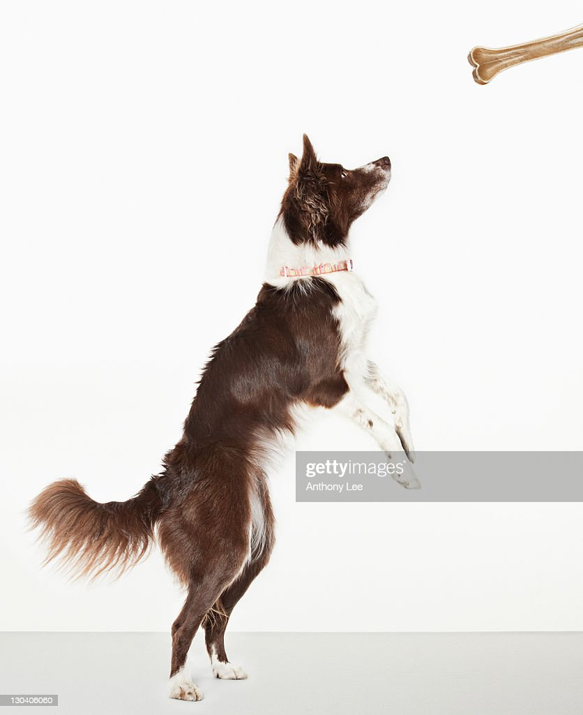 Dog standing to reach bone : Stock Photo